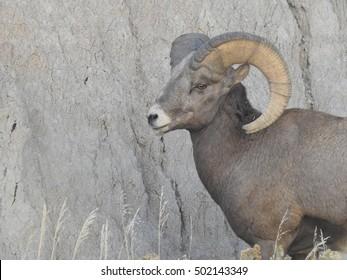 Big Horn Ram at Badlands National Park in South Dakota