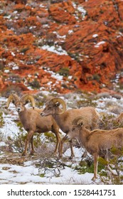 Big horn ram sheep gathering in snowy desert landscape in Nevada, USA