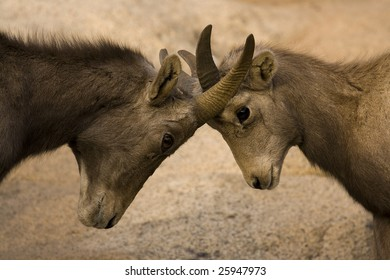 Big Horn Sheep Fighting