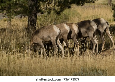Big Horn Sheep in Flaming Gorge Recreational Area, UT, USA