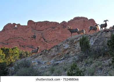 Big Horn Sheep at Garden of the Gods Park Colorado