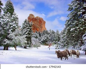 Big Horn Sheep at Glen Eyrie near the Garden of the Gods, Colorado Springs, Colorado