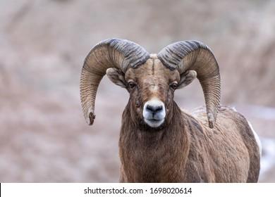 Big horn sheep grazing in Badlands National Park, South Dakota - 1