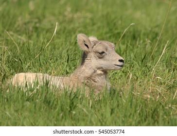 Big Horn Sheep (juvenile)