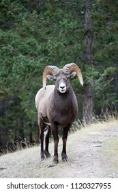 Big Horn sheep looks directly at the camera, Maligne Canyon, Jasper, Alberta, Canada