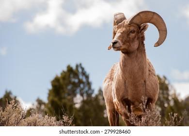Big Horn Sheep, Ovis Canadensis