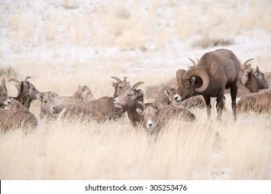 A big horn sheep ram in pursuit of a female