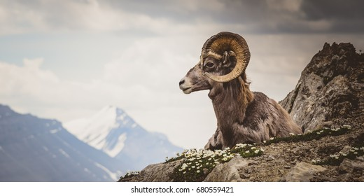 Big horn sheep sitting on mountain in Jasper, Wilcox Pass, Canada