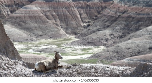 Big horn sheep wearing a radio tracking collar in the Badlands National Park, south Dakota.