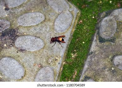 Big Hornet in Sri Lanka