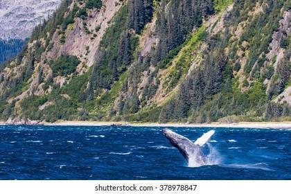 A big humpback breaches near the shoreline in Prince William Sound