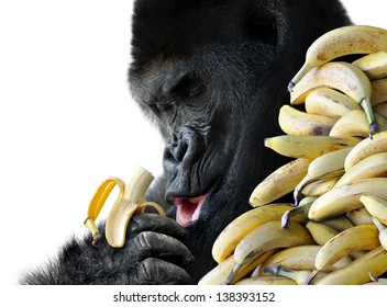 Big hungry gorilla eating a healthy snack of bananas for breakfast, isolated on a white background.