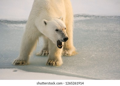 A big hungry polar bear stands on an ice floe and growls menacingly. Close-up. Arctic Ocean. Svalbard.