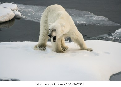 A big hungry polar bear stands on an ice floe and growls menacingly. Close-up. Arctic Ocean. Svalbard. Arctic Ocean. Svalbard
