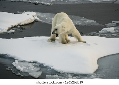 A big hungry polar bear stands on an ice floe and growls menacingly. Close-up. Arctic Ocean. Svalbard