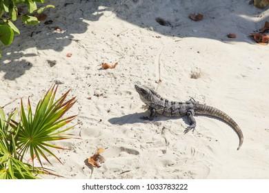 Big iguana is basking in the sun