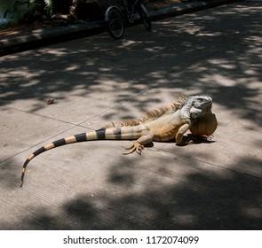 big iguana, Giant lizard Crossing the road
