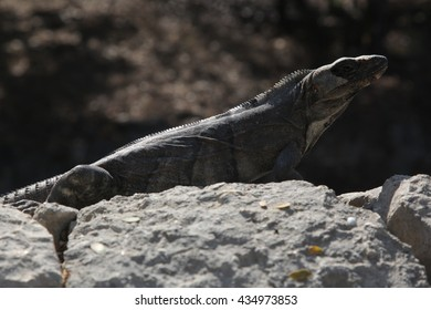 big iguana on gray rocks
