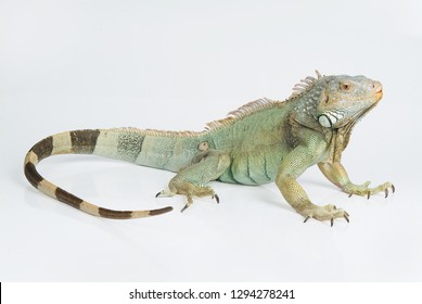 Big iguana on an isolated stydio background