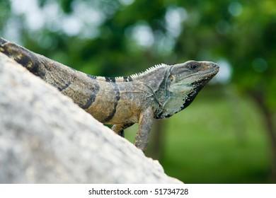 Big Iguana on Rock