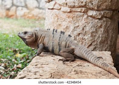 Big iguana resting on stone at Xcaret Natural Park, Riviera Maya, Mexico