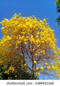 Big ipe tree with yellow flowers