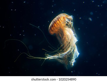 big jellyfish  marine