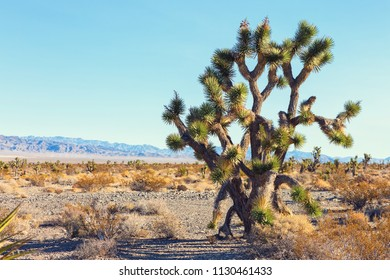 Big Joshua Tree   in the Mojave Deserte,  California, United States.