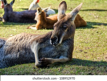 Big Kangaroo relaxing