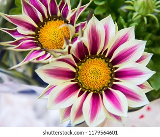 Big Kiss White Flame gazanias with bright white and purple petals around golden centre, a flower of the daisy family, also known as Treasure Flower.