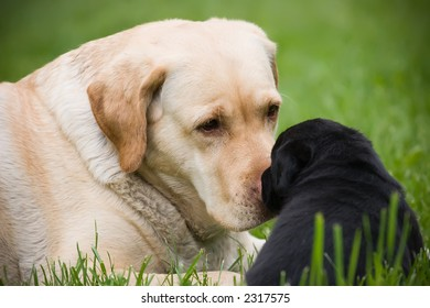 Big labrador dog with little black puppy, laying on grass