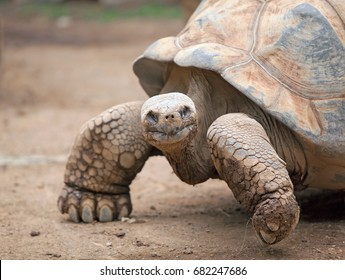 Big land tortoise crawling in the sand