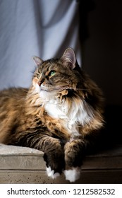 Big Large Maine coon calico cat resting on chair indoors inside house looking up through window, breed neck mane or ruff