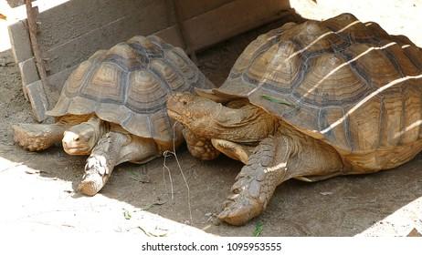 Big Large turtles