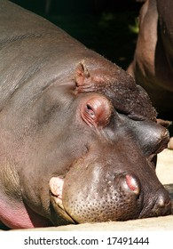 big lazy hippo try to sleep