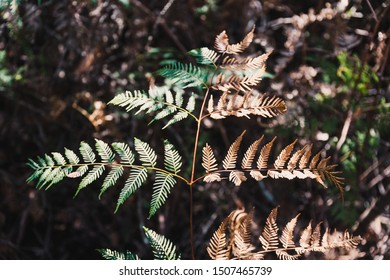 big leaf of bracken fern in the Australian bush with half side fully green and half side dry and golden