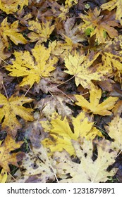 Big leaf maple leaves on forest floor, Fall colors Aufderheide Scenic Byway, Willamette National Forest, Oregon, USA