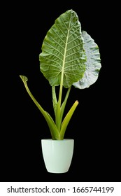 Big leaf ornamental plants, ornamental plants planted in pots through dicut black backdrop for designs and decorations png ps ans ai