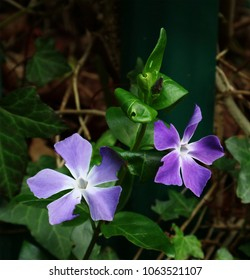 Big Leafed Periwinkle - Vinca major. blue / purple flowers close up.