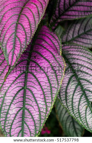Big Leaves Plant Dark Green Purple Stockfoto Jetzt Bearbeiten