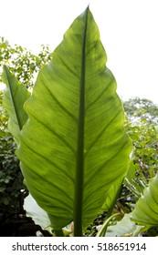 Big leaves in tropical