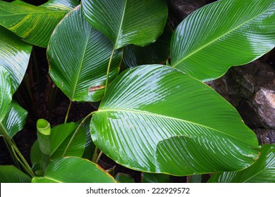 Big leaves, wet leaves many