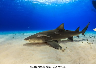 Sand shark images stock photos vectors shutterstock big lemon shark resting on sand with blue background and sunbeam tiger beach bahamas publicscrutiny Image collections