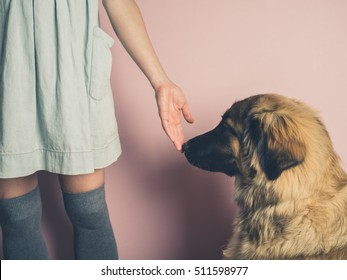 A big Leonberger dog is smelling the hand of a young woman