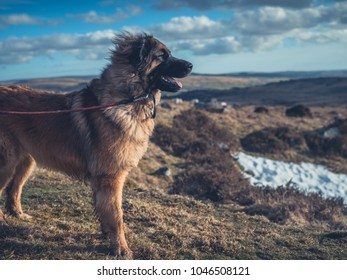 A big Leonberger dog is standing on the moor