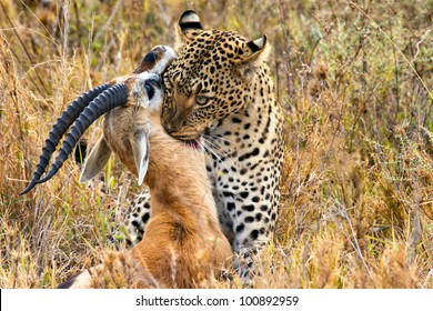 big leopard catches its prey