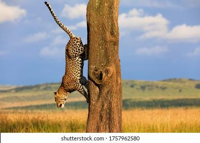 Big Leopard Split Nose climbing on a tree in Masai Mara, Kenya