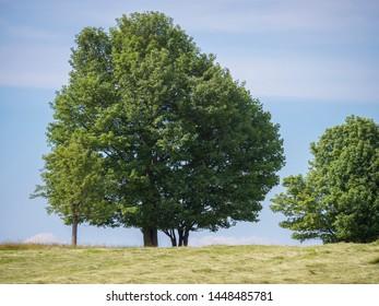 Big Linden Tree on mowed Meadow with summer rural Landscape, Blue Sky background