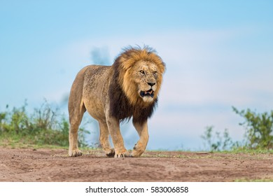 Big Lion Caesar, son of legendary Lion Notch, walking in Masai Mara, Kenya
