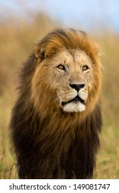 Big Lion Caesar, son of Lion Notch, with a very beautiful mane blowing in the wind in Masai Mara, Kenya